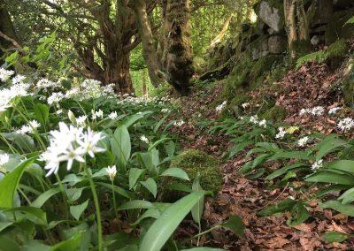 Wild Garlic | The Hudnalls Hideout Treehouse Wye Valley